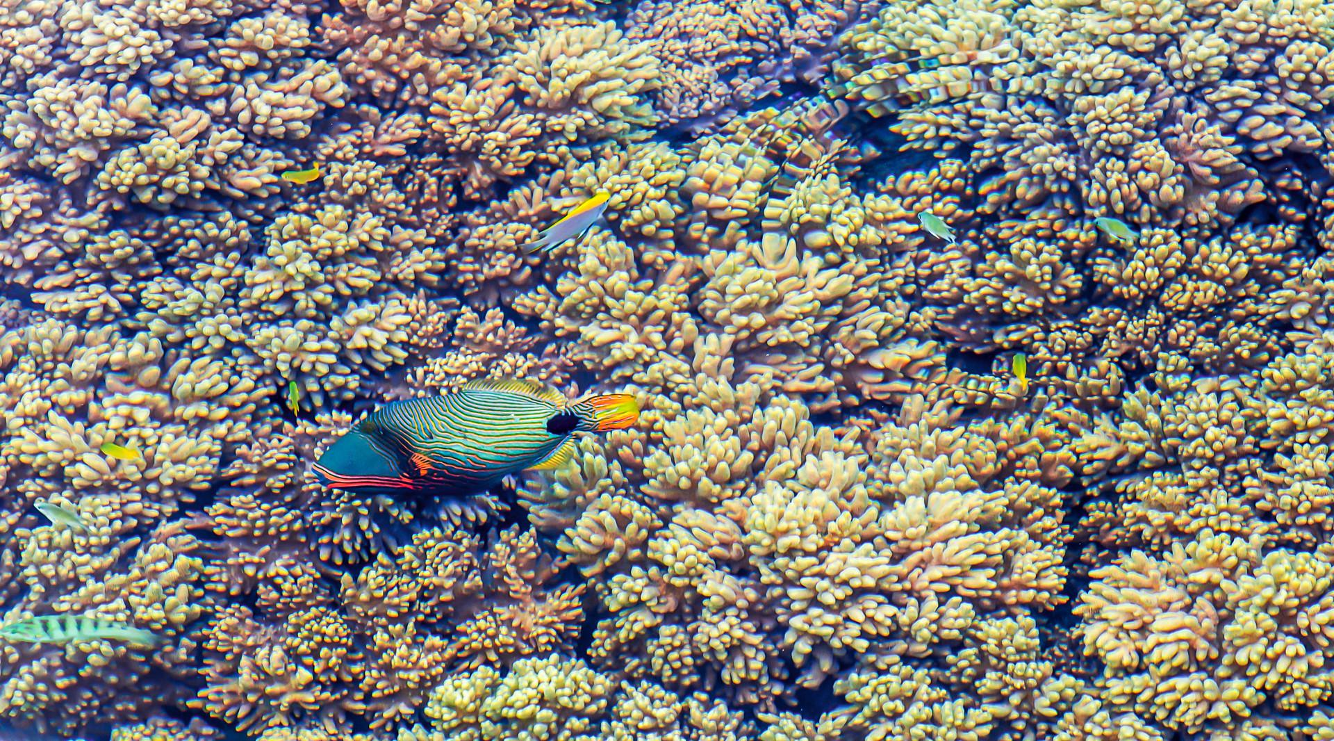 大堡礁珊瑚封面图